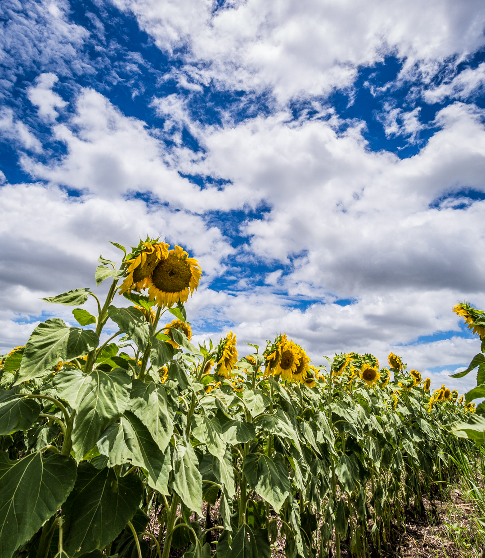 sunflowers-0045.jpg
