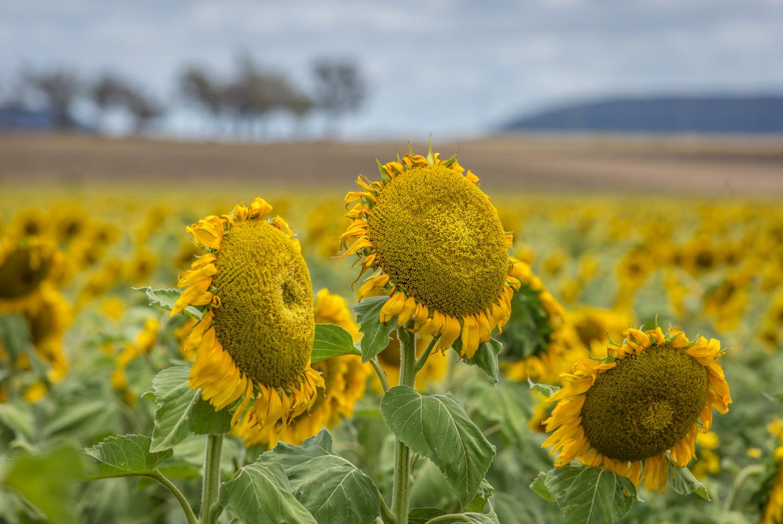sunflowers-0054.jpg