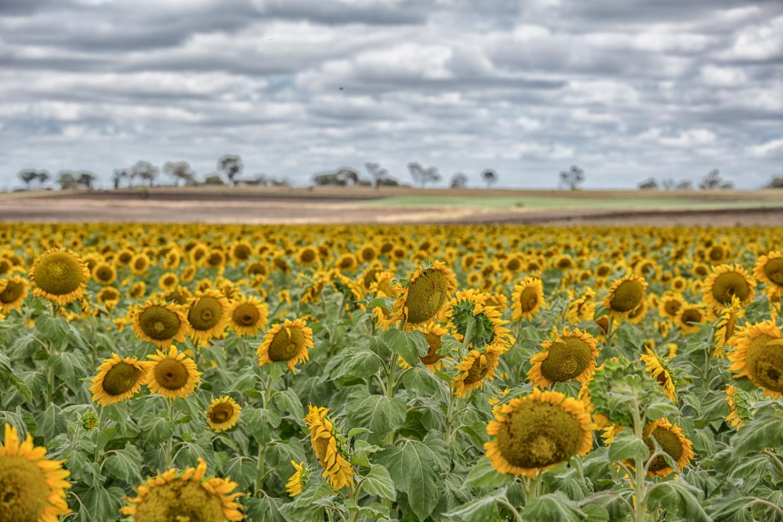sunflowers-0063-Edit.jpg