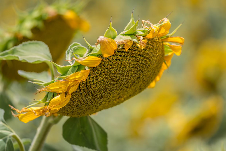 sunflowers-0109.jpg