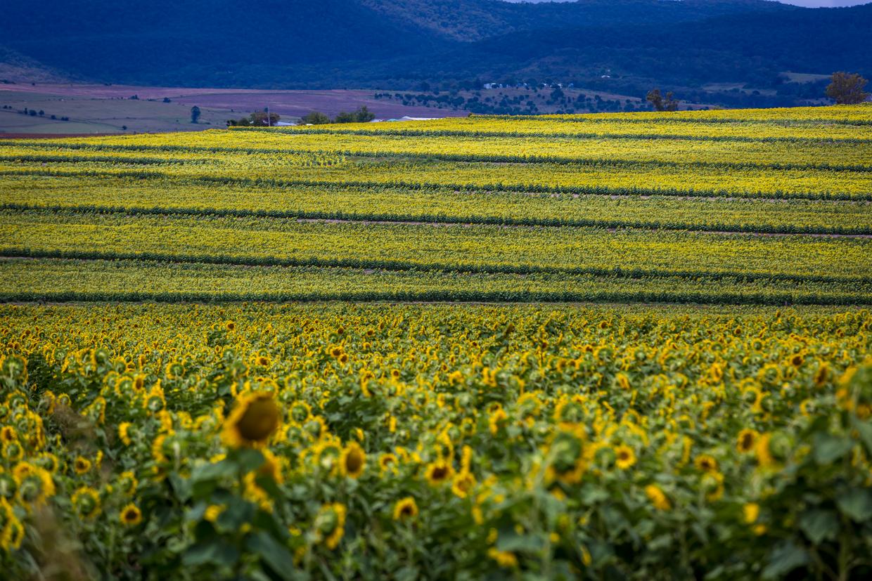 sunflowers-0124.jpg