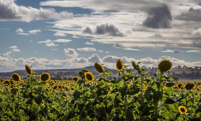 sunflowers-0181.jpg