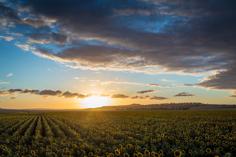 sunflowers-0265-2.jpg