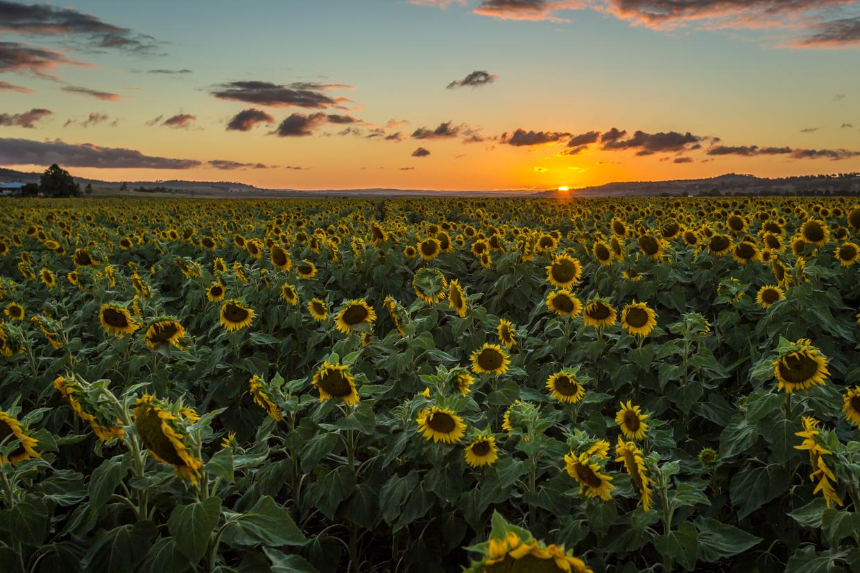 sunflowers-0284-2.jpg