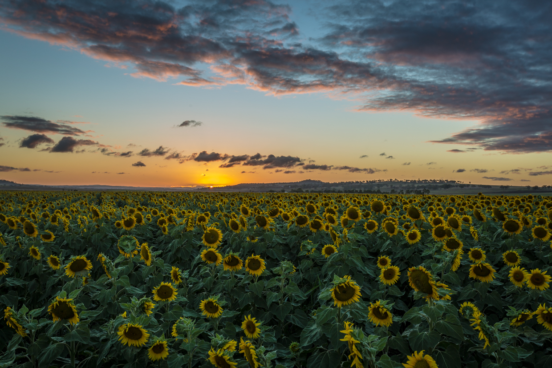 sunflowers-0291-2.jpg