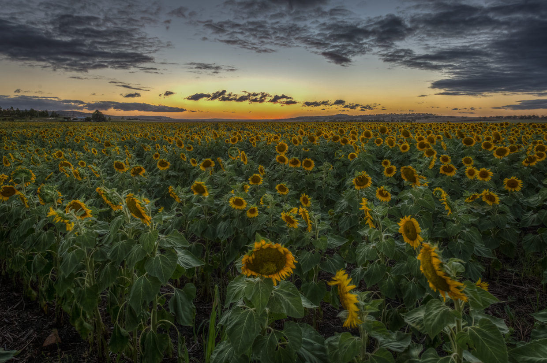 sunflowers-0313HDR-2.jpg