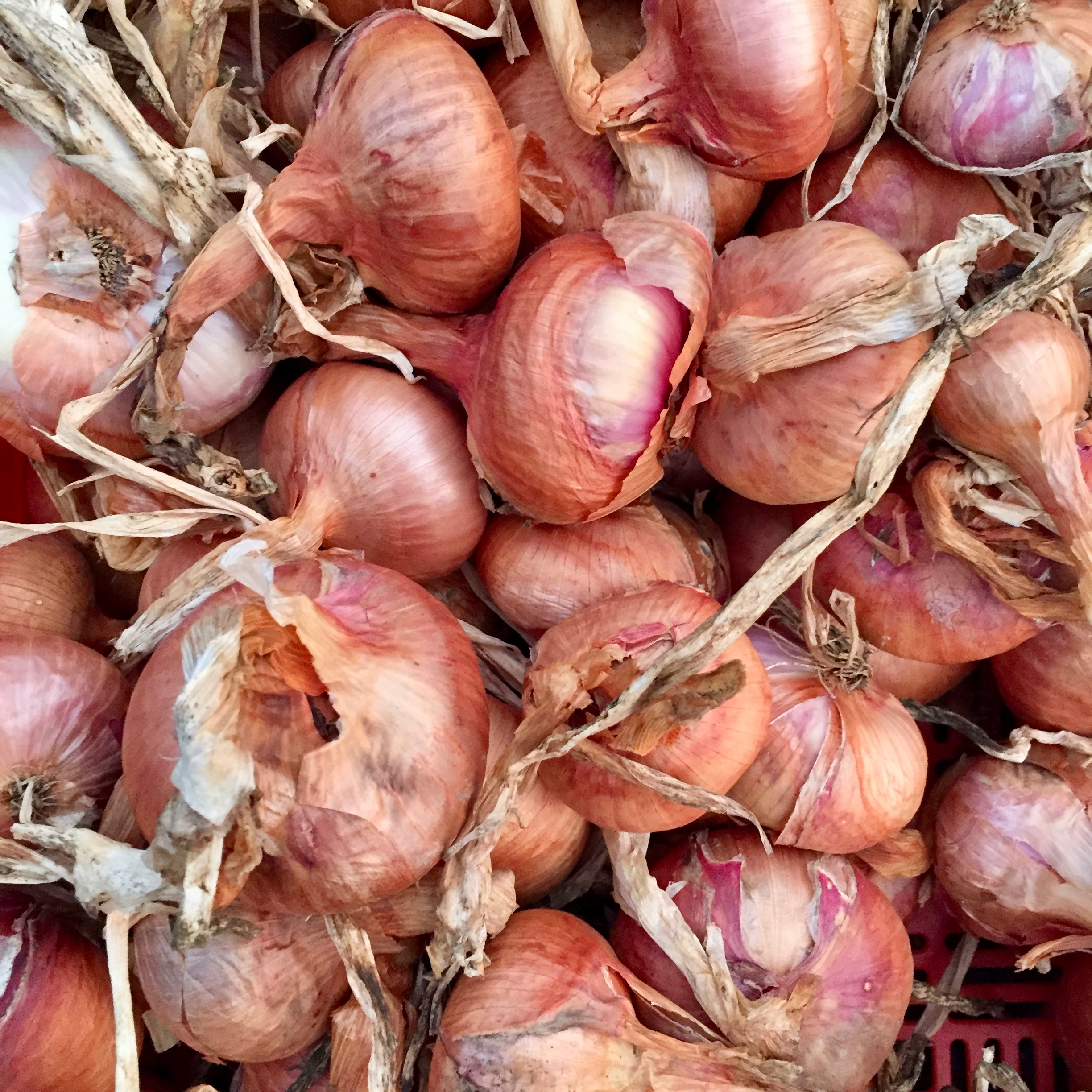 red onion color print