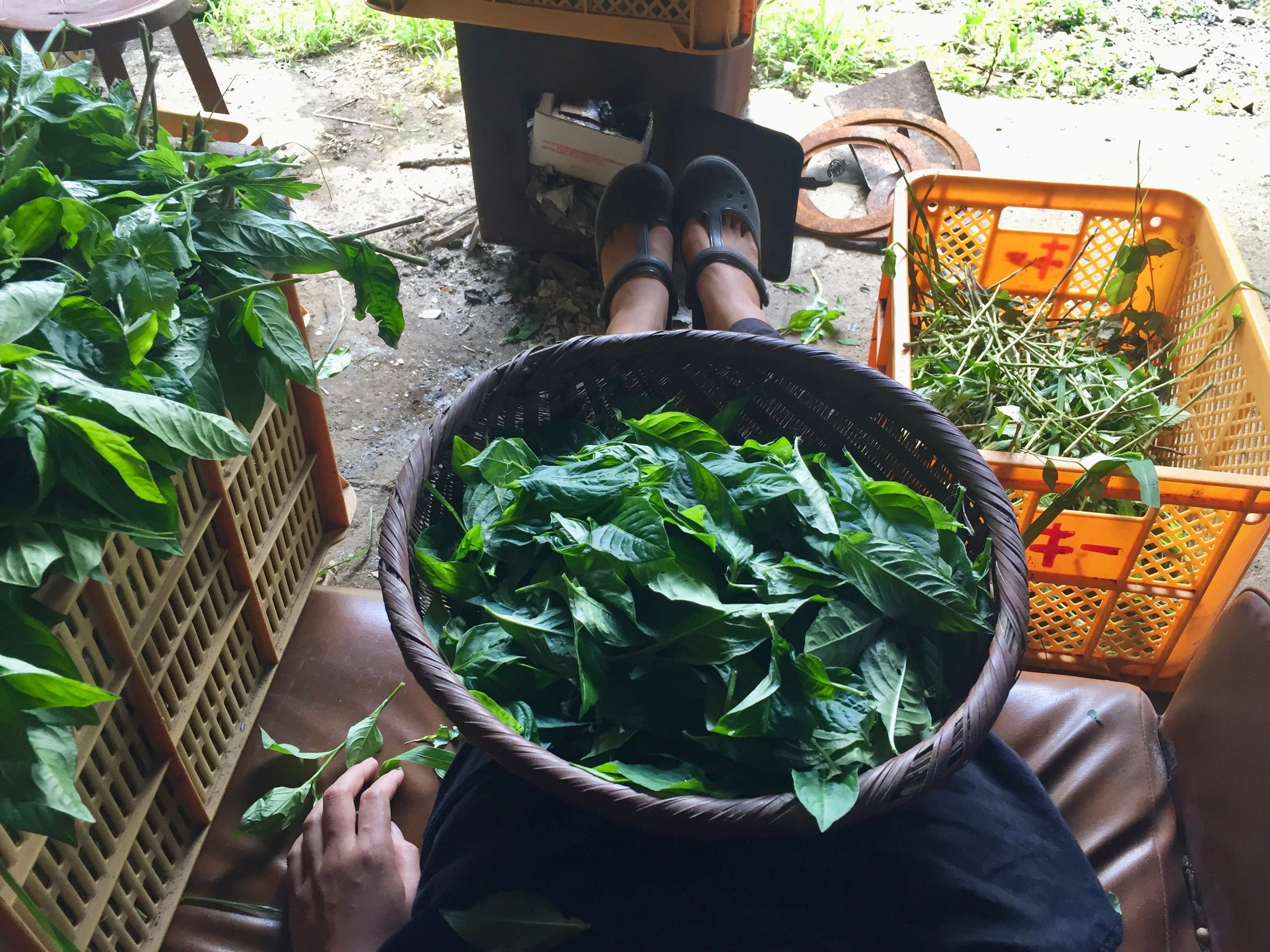 Harvesting indigo leaves - perfect WWOOFing shoes!