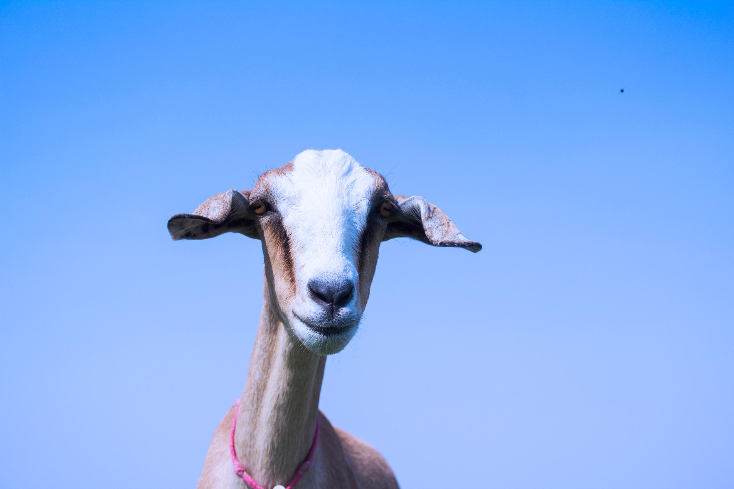 goat_pasture_5.jpg