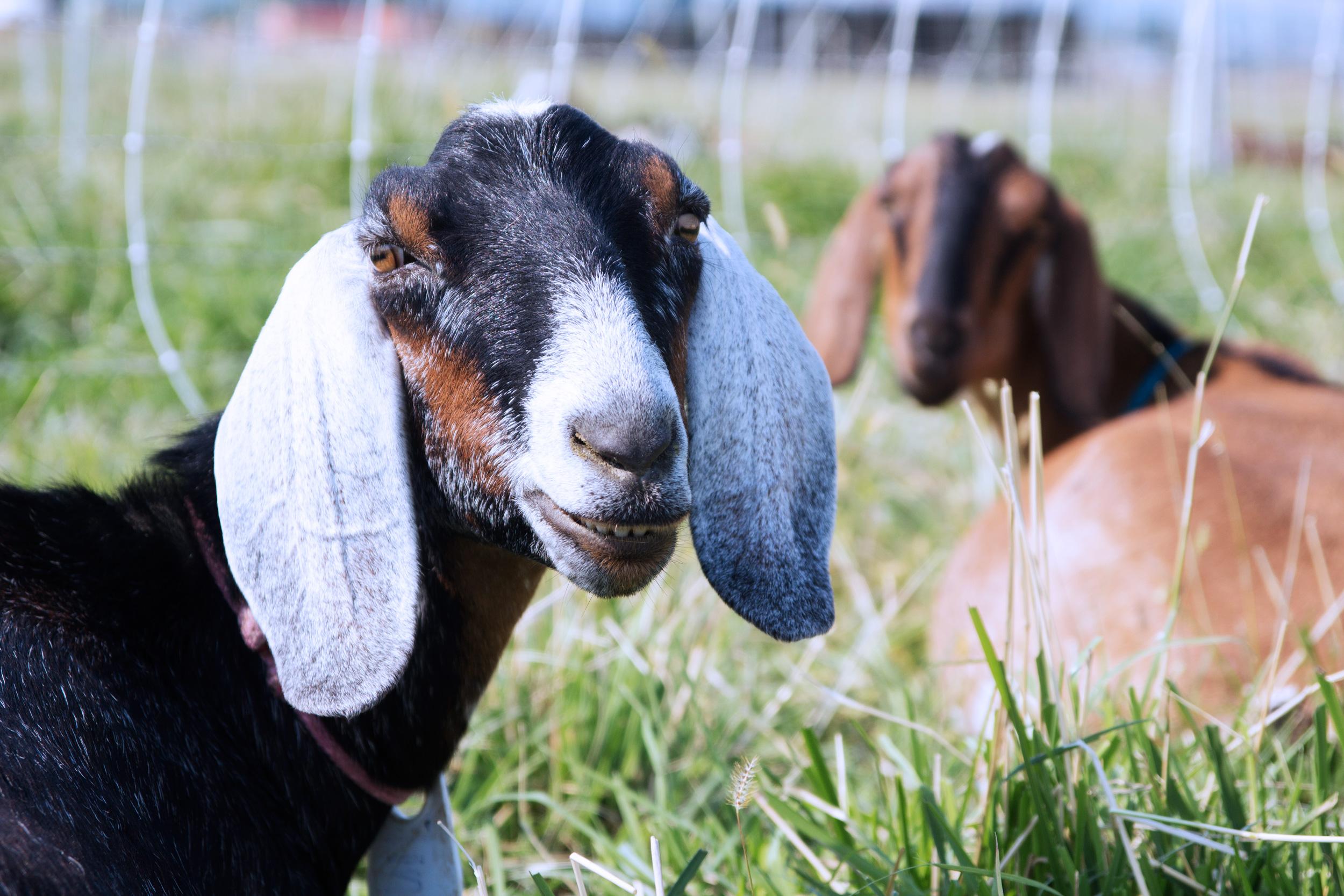 goat_pasture_7.jpg