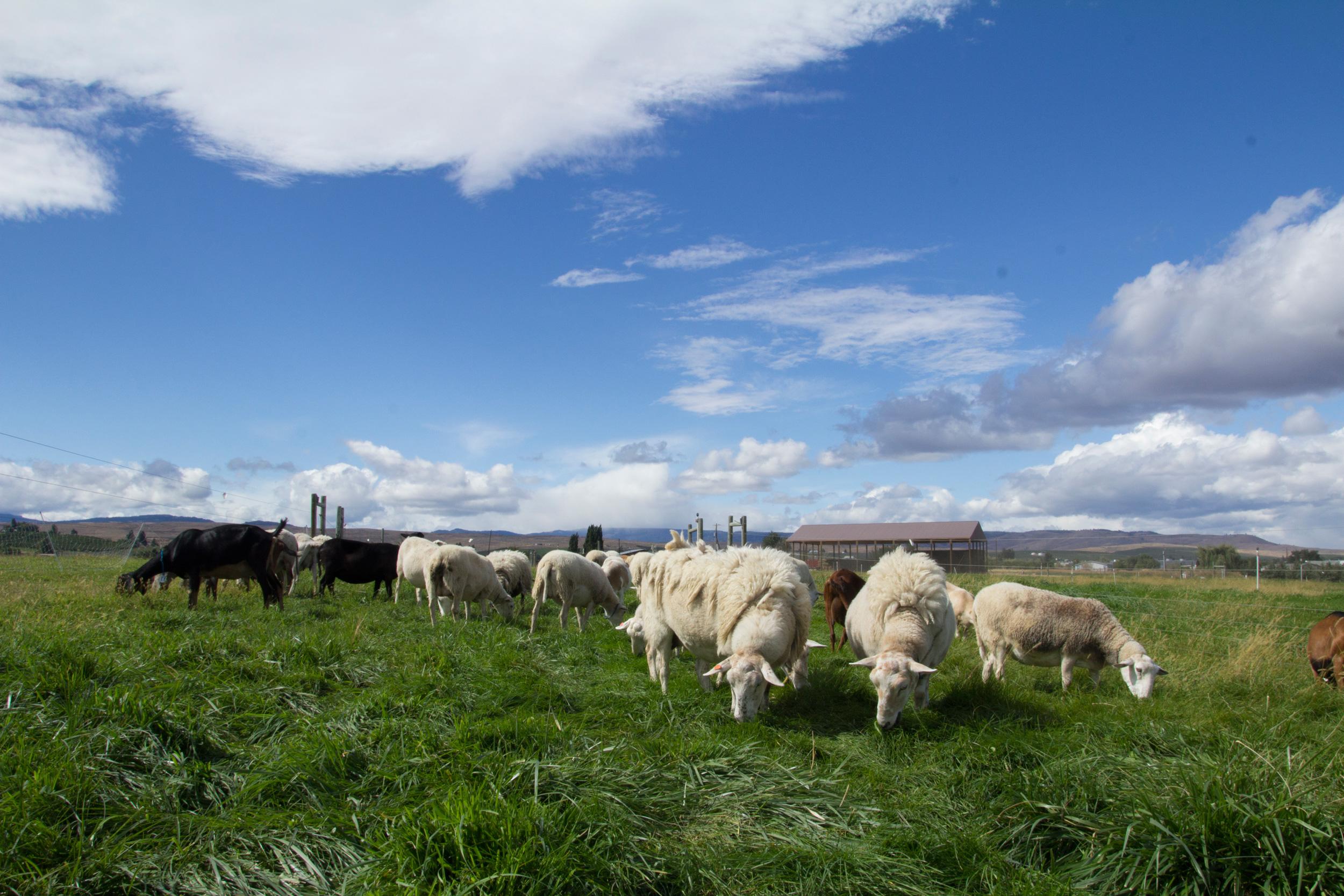 sheep_pasture_9.jpg