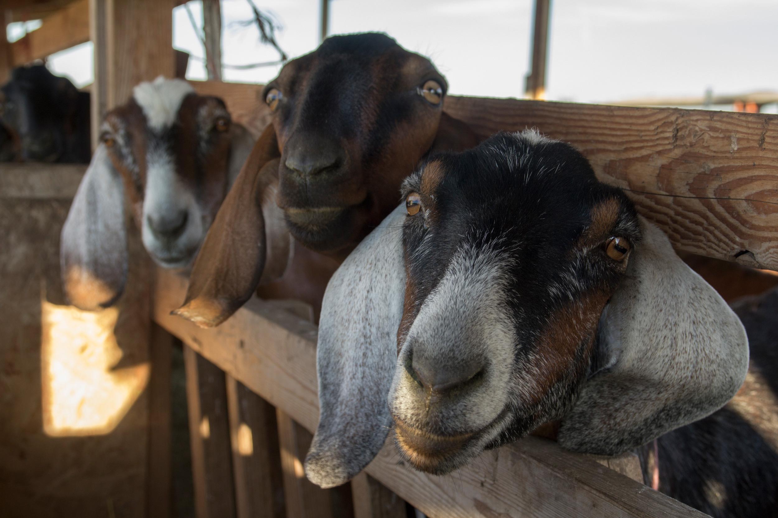 goat_3.jpg