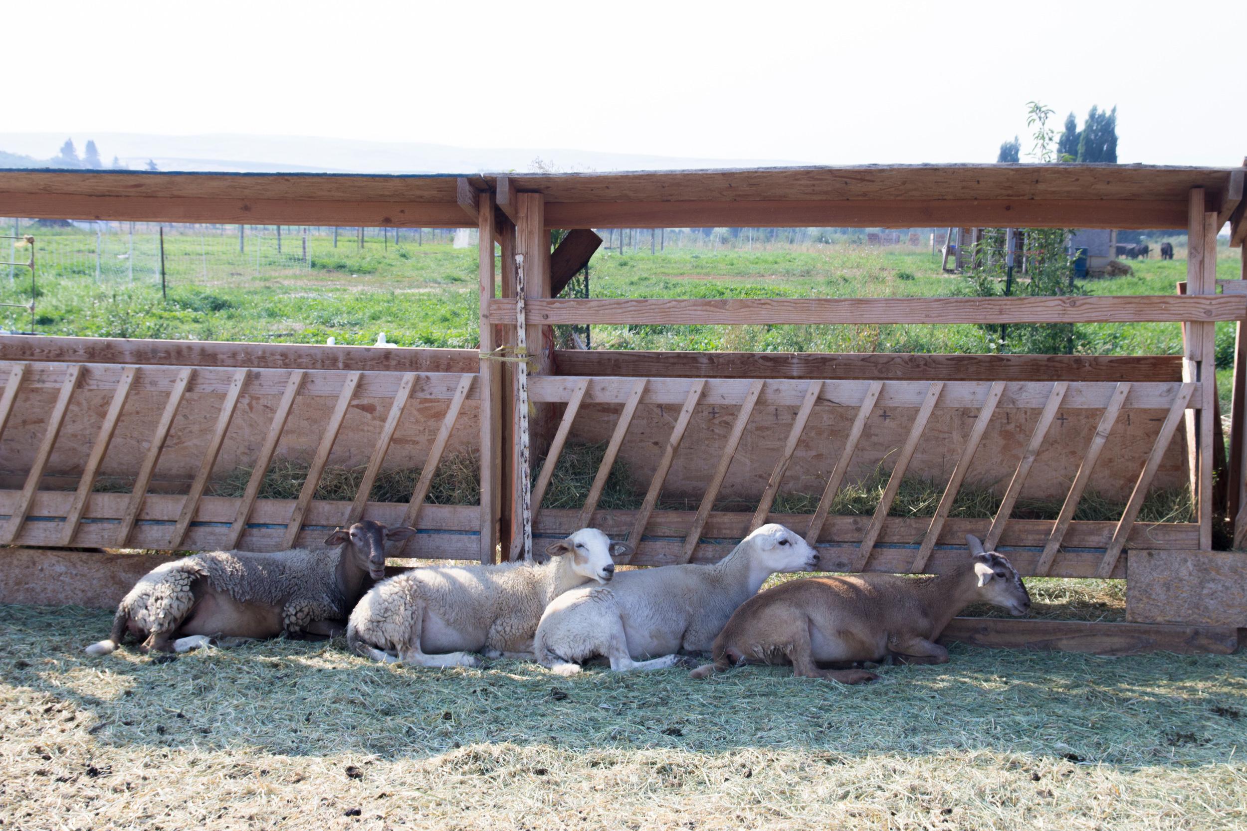 sheep_pasture_11.jpg