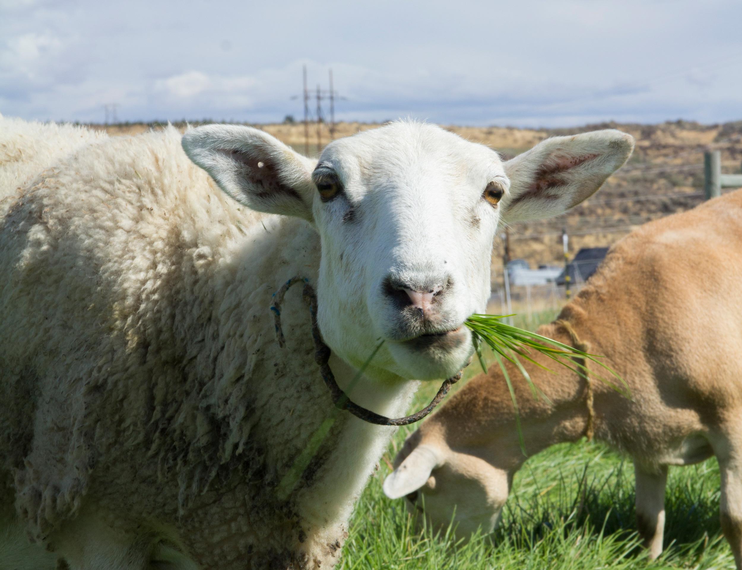 sheep_pasture_10.jpg