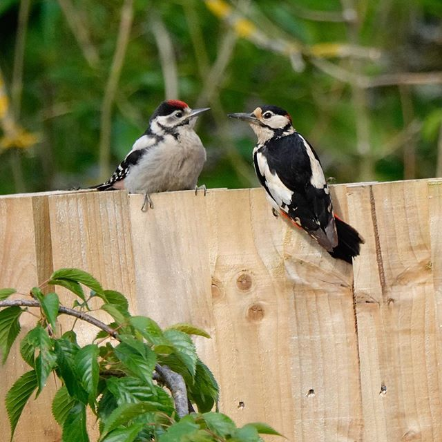 Feeding time for little woodpecker #jamesjaggerphotography #igerssurrey #godalming #woodpeckers