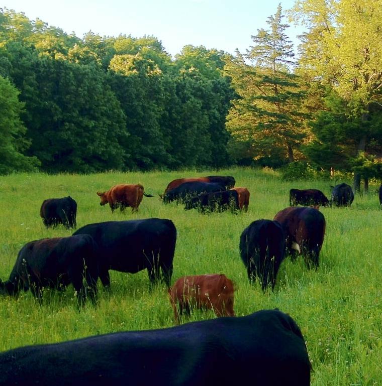 cattle-grazing3.jpg