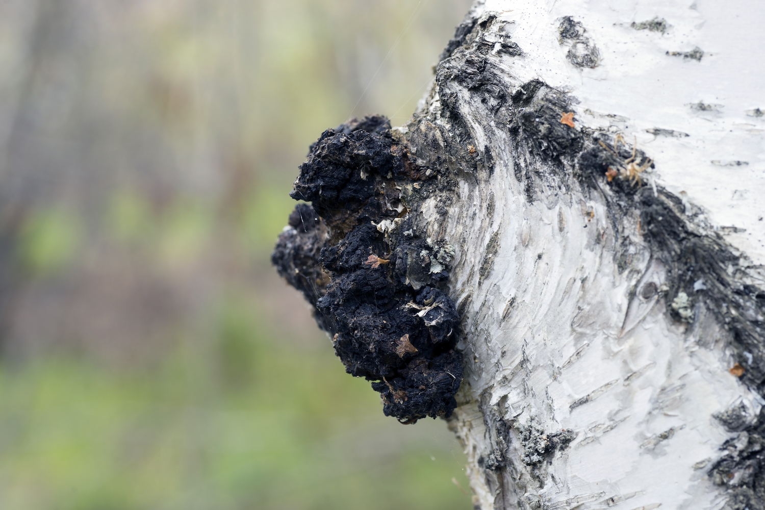 Chaga as you would find it on a birch tree.
