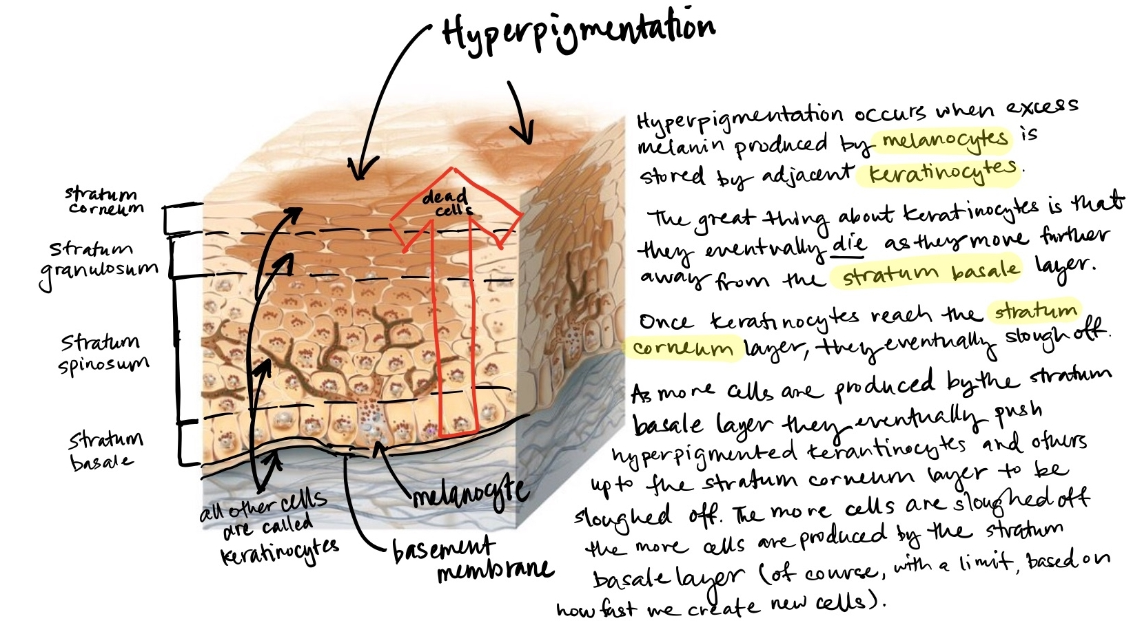 Hyperpigmentation usually fades as keratinocytes with excess melanin reach the stratum corneum layer and slough off. As old cells slough off the stratum corneum layer of the skin, new cells are produced by the stratum basale layer. The stratum basale layer holds skin stem cells that are responsible for producing new cells and melanocytes that release melanin that protects skin cell's DNA from sun exposure. The key is to balance shedding enough dead skin cells to stimulate new cell growth whilst still maintain enough dead skin cells in the stratum corneum to help aid your skin's ability to retain water.