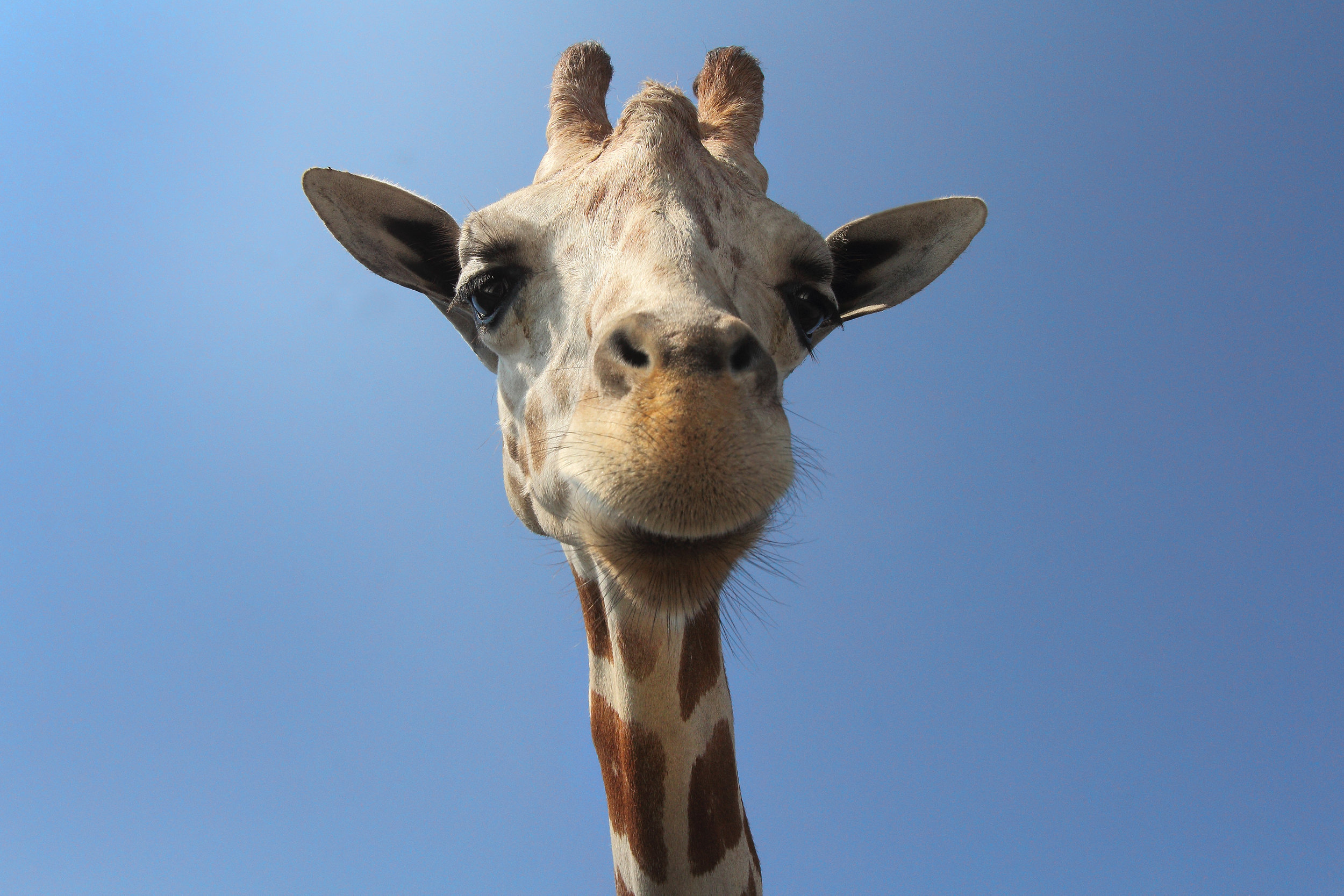 We love giraffes <3