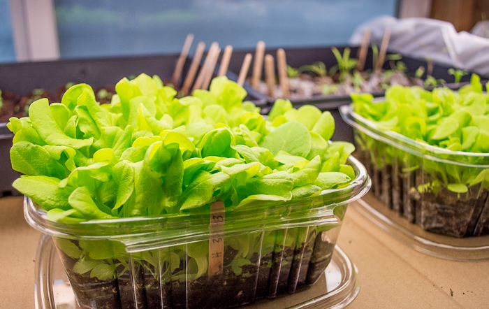 Lettuce seedlings planted in a repurposed clamshell are strong and healthy about a month after being planted.