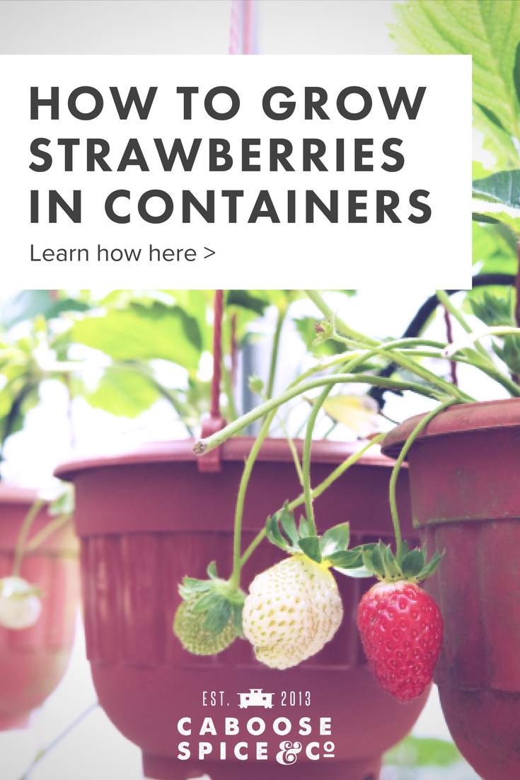 How to grow strawberries in containers (1).png