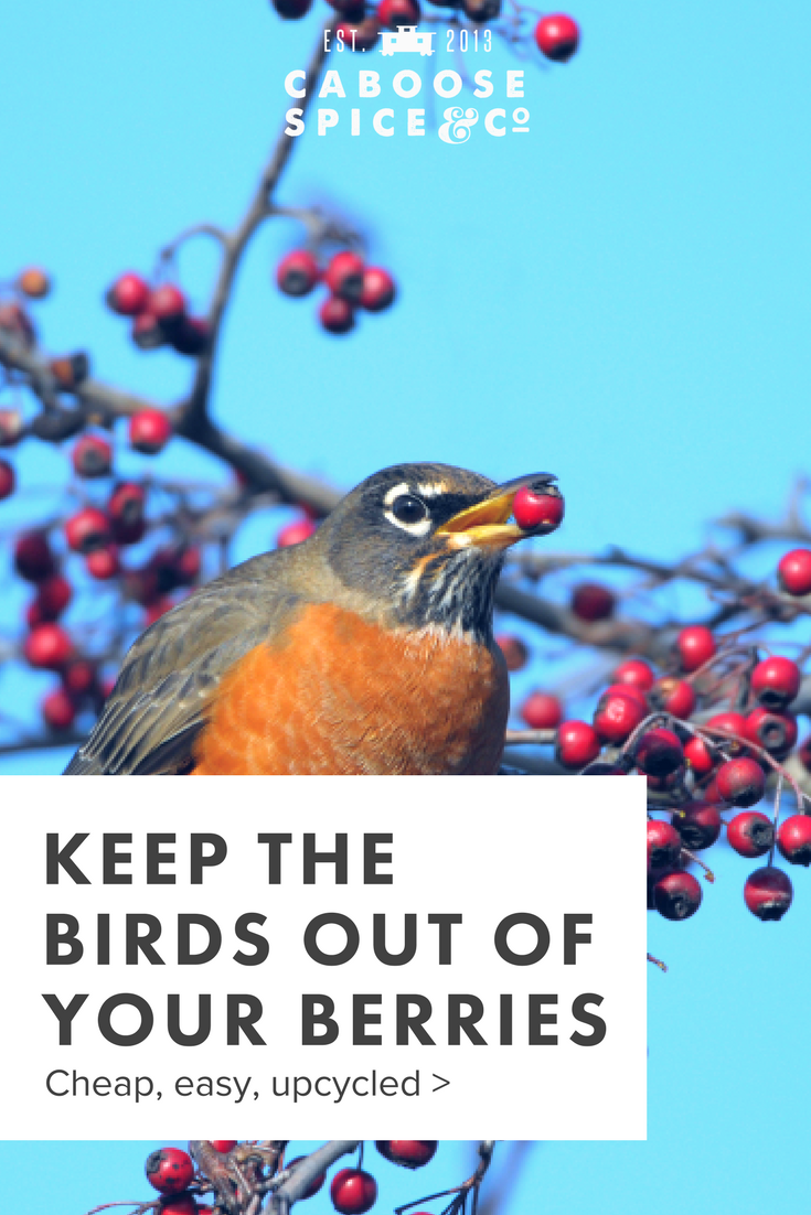 how to keep the birds from eating all your berries.png