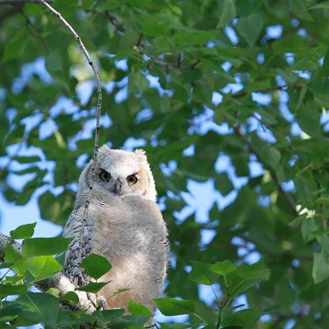 Neighbourhood birds. Love my street you never know what you will see! 🦉 🦜 #greathornedowl  #babygreathornedowl  #albertabirds  #goldfinch  #mybackyard 📷 kentphoto