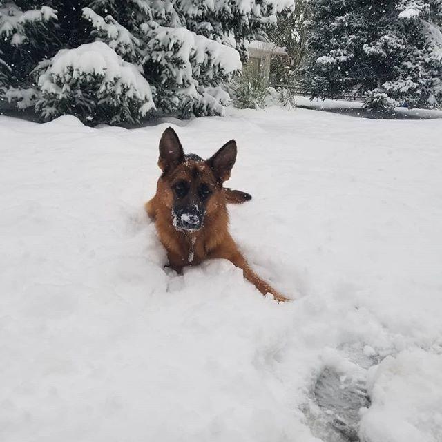 It's Snowtember ☃️ in Alberta! River loves it! 30+cm and it's still snowing!! #Indoorday #Snowtember #riverdog #happyshoveling #turnervalley