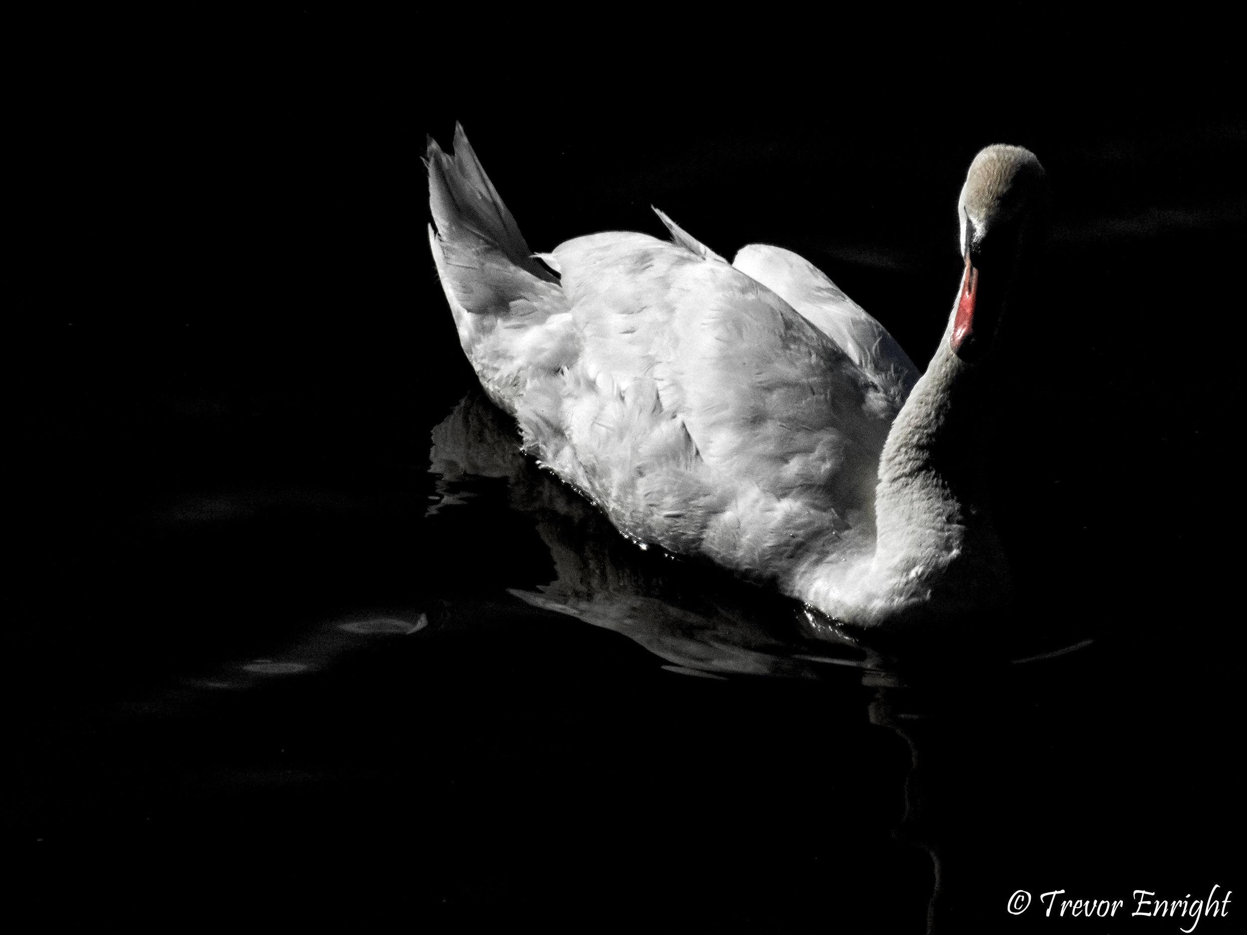 Swan Noir