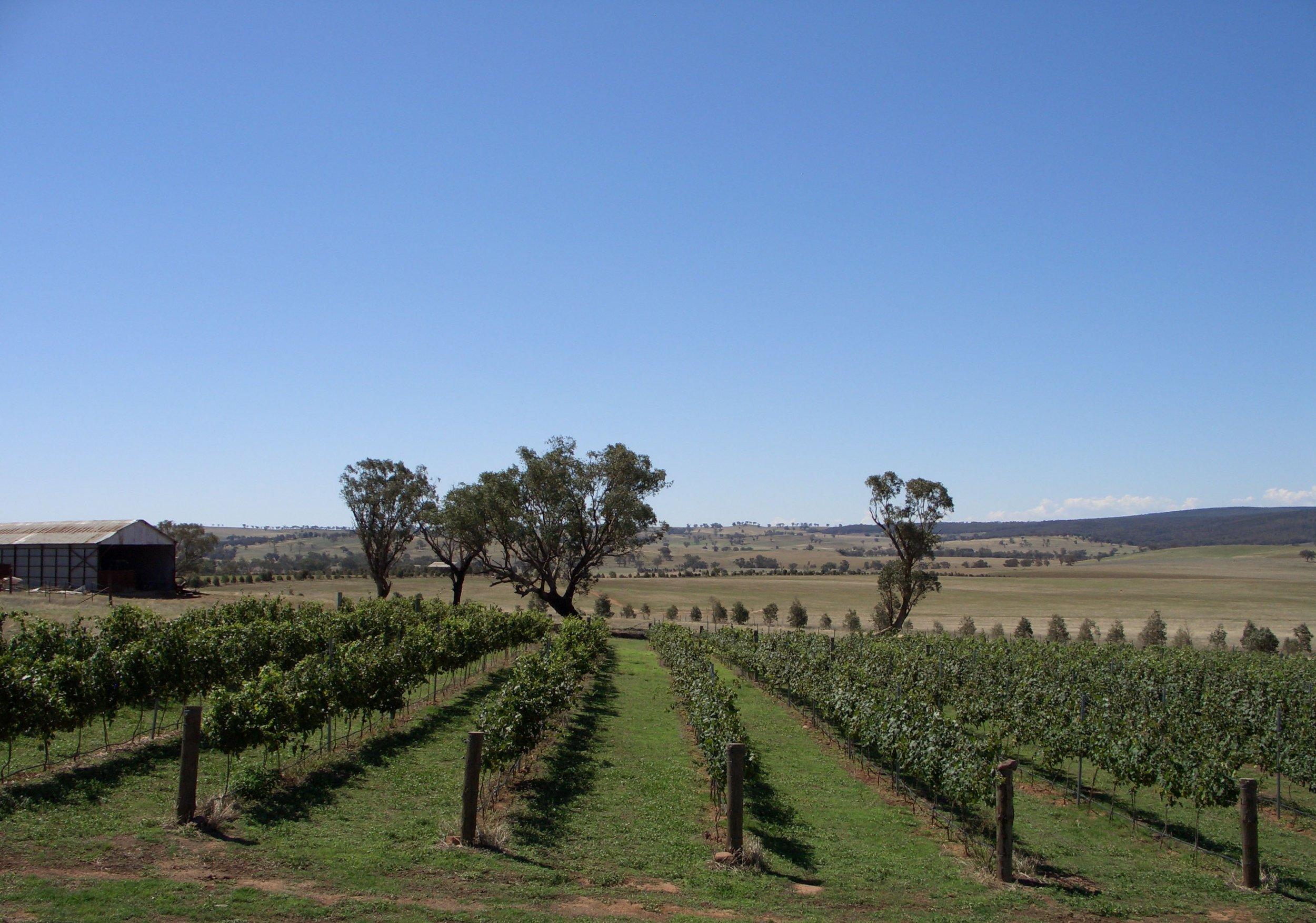 Trandari vines in the Hilltops region.