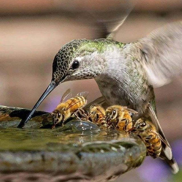 We're coming for you. . . #pollinators #awareness #fightignorance #stateofnomind #stateofnoself #interbeing #hummingbird #bees #picaflor #abejas #flowers #water