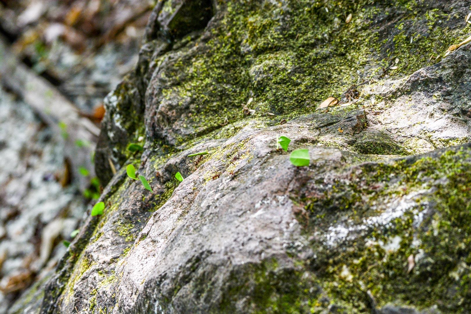 A line of leaf cutter ants traverse a rock