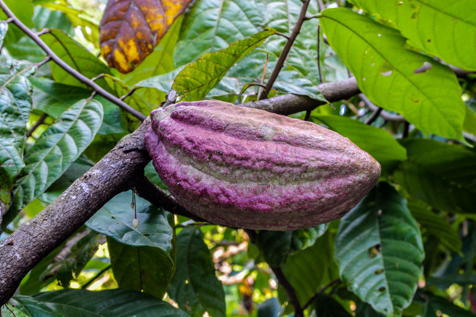One of the many varieties of cacao pods