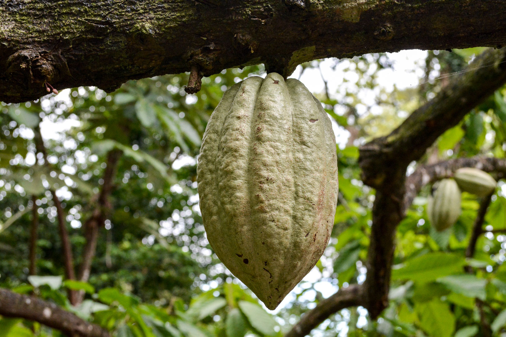Another variety of the cacao pod