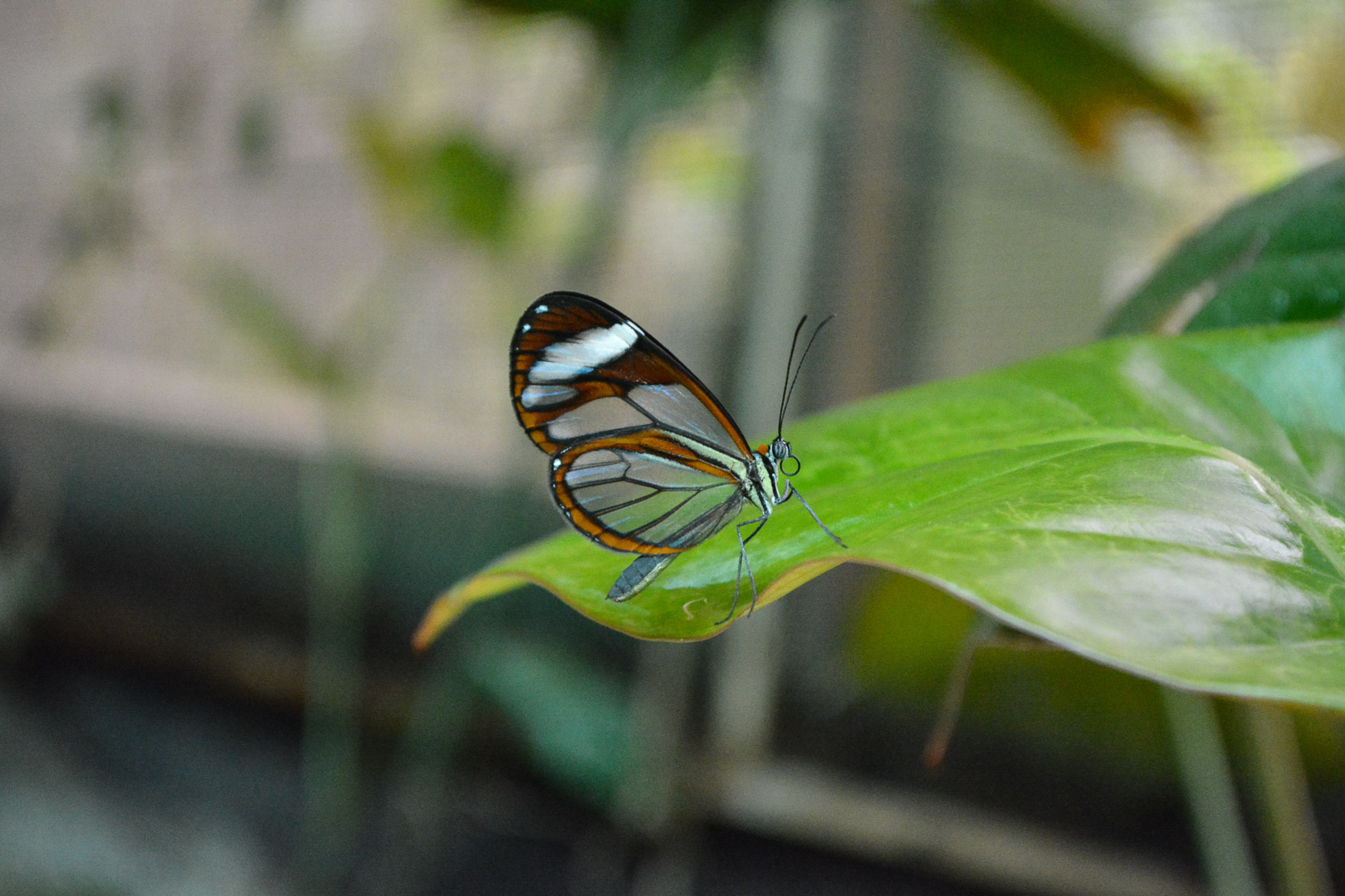 The glass winged butterfly (shot by Lauren)