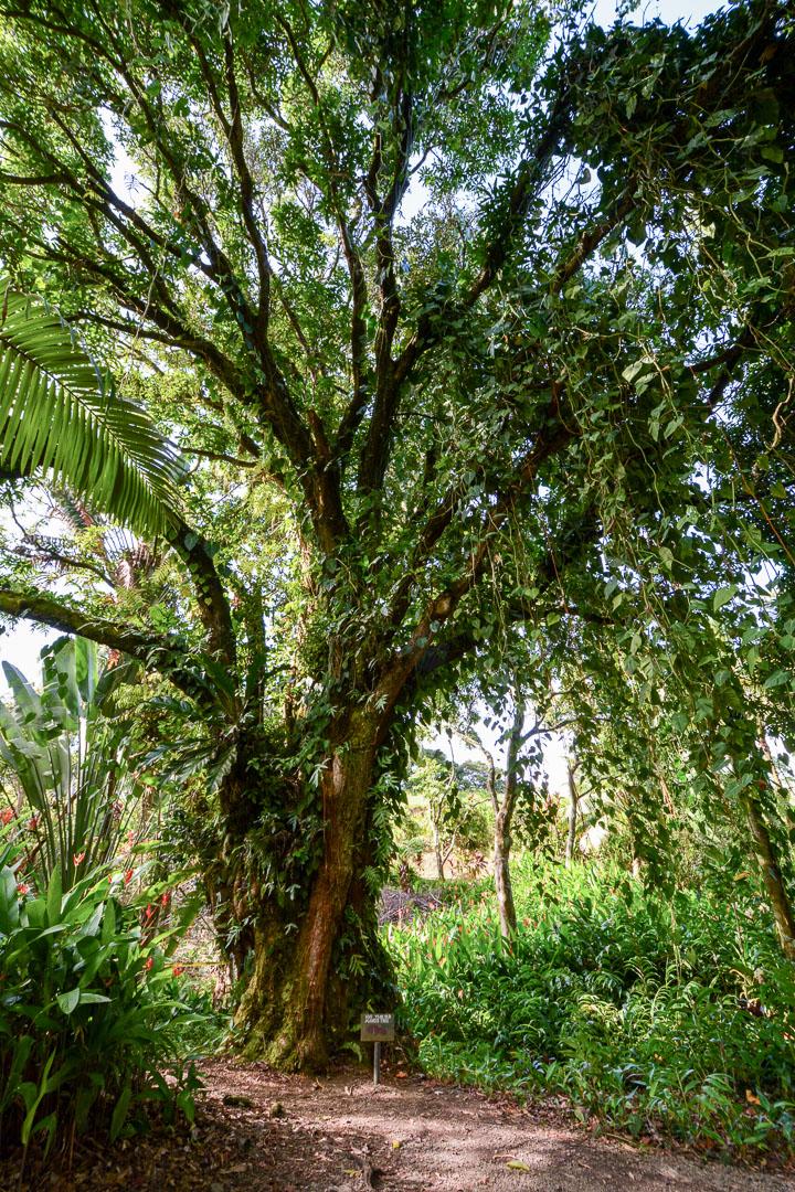 100-year old mango tree
