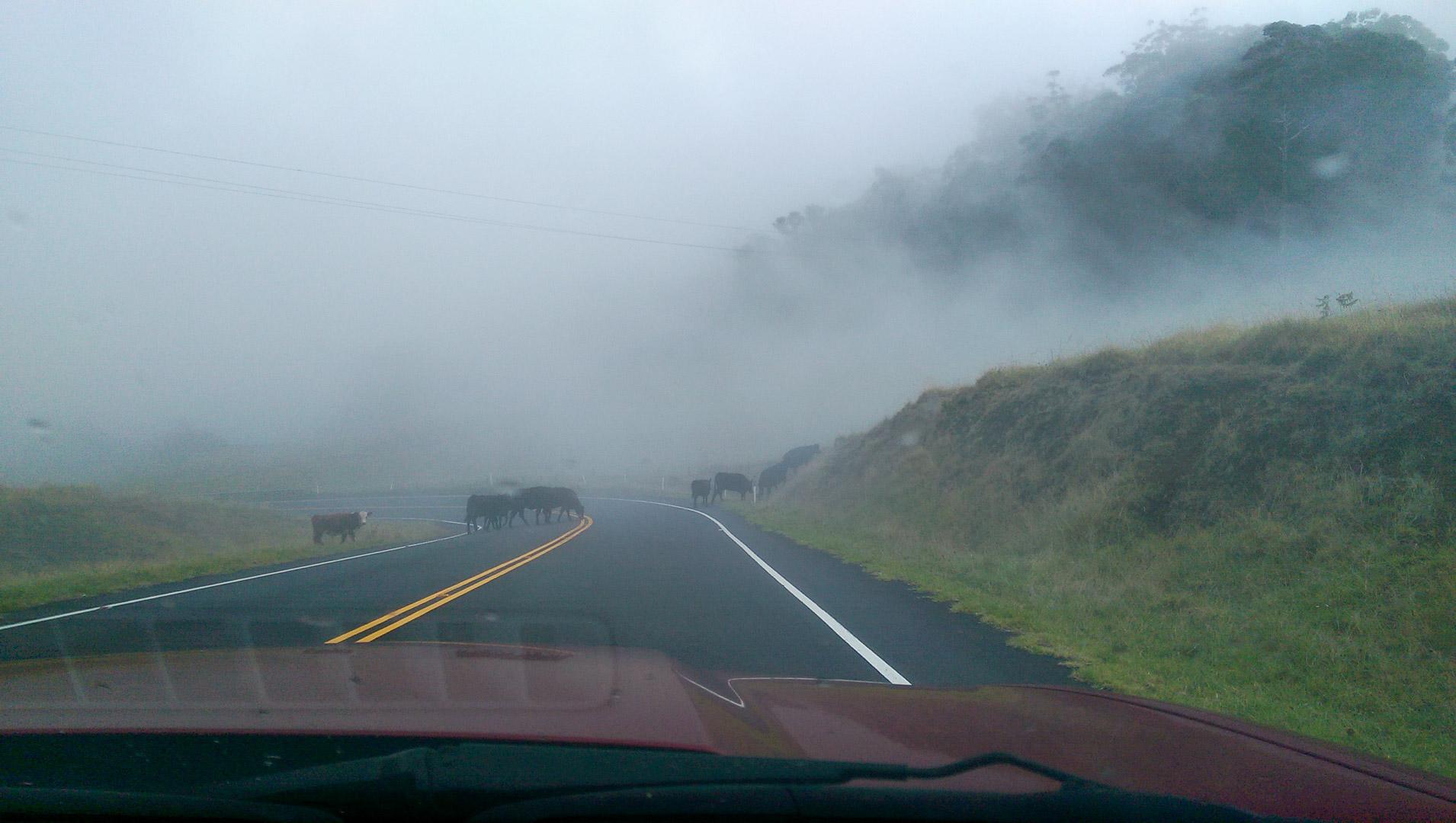 A little cow traffic jam