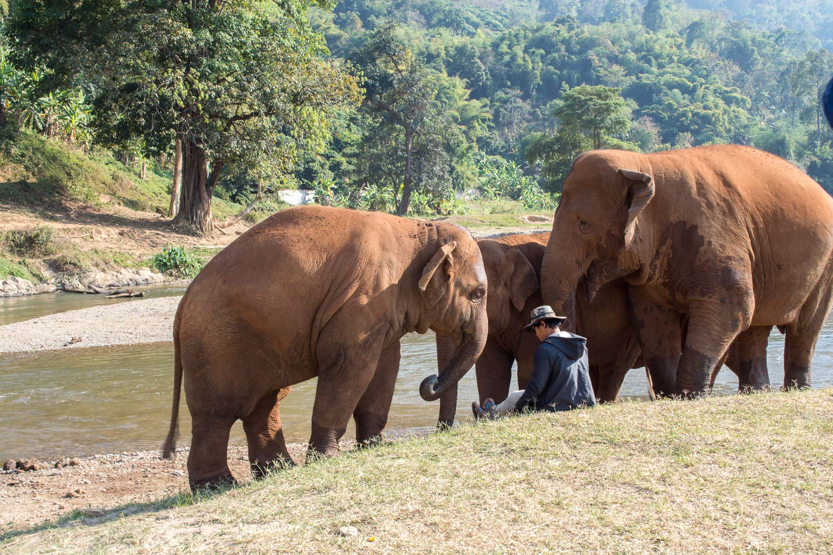 Mahout with his elephants