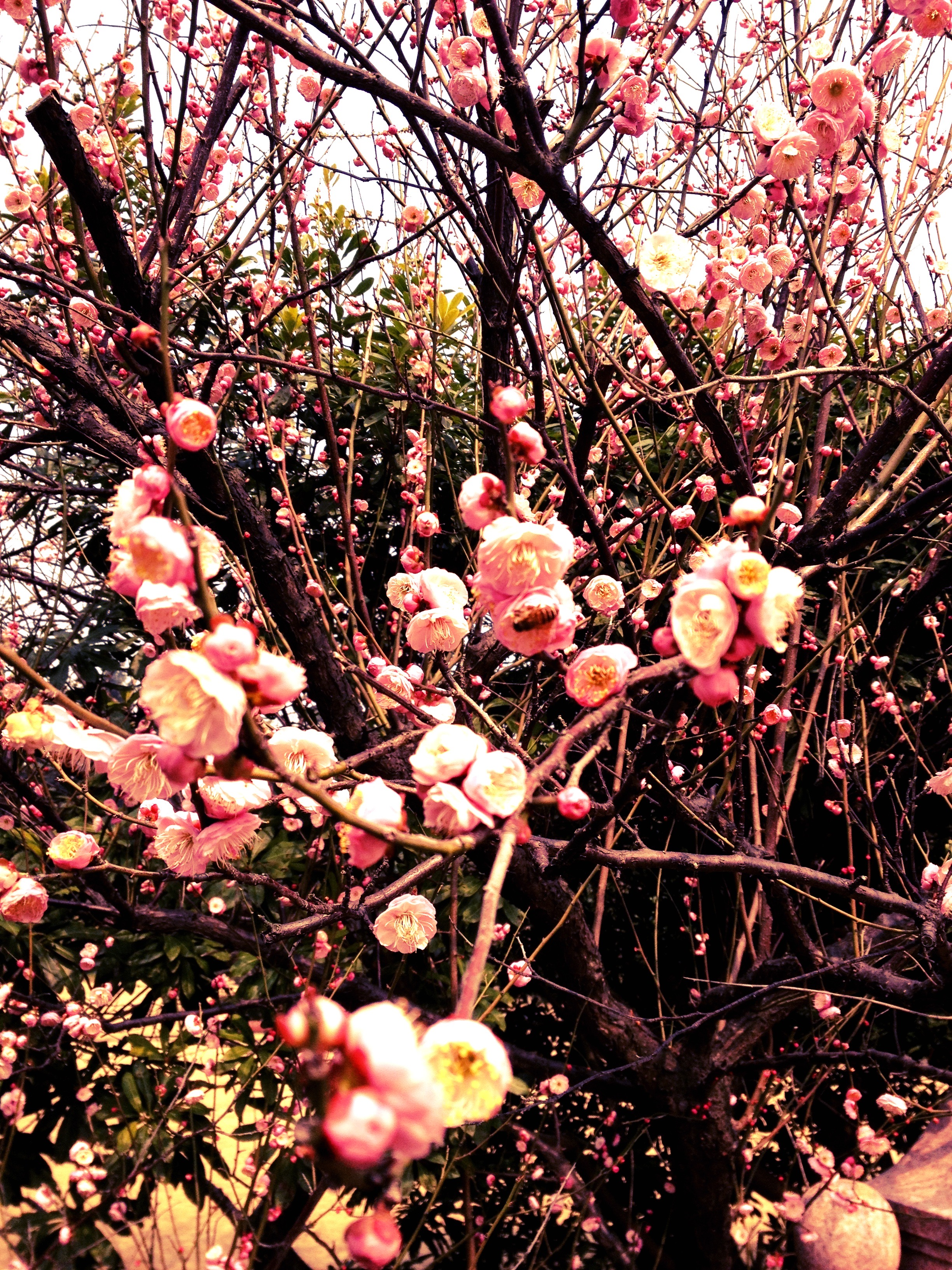 Plum blossoms announce the arrival of Spring (Shanghai, China)