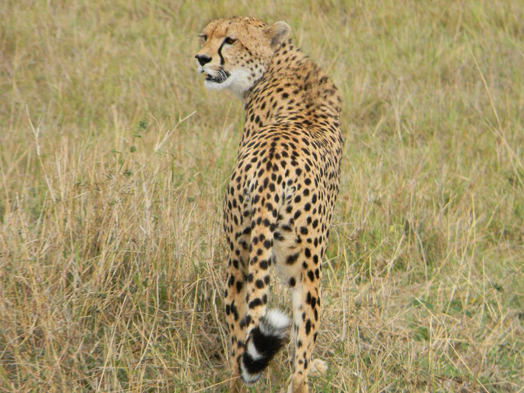2.cheetah.jpg