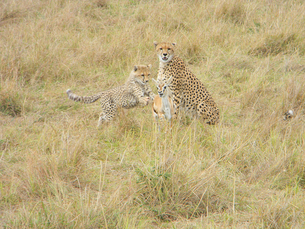 3.cheetahs-hunting.jpg