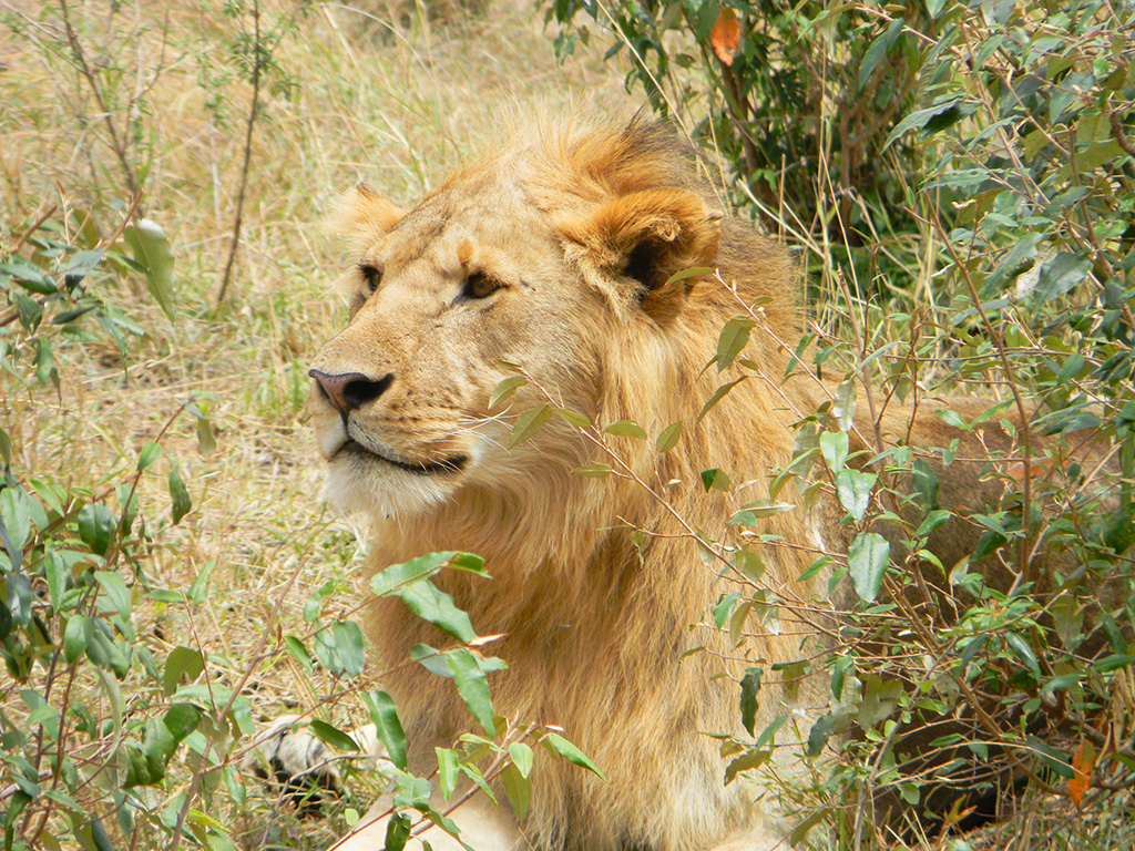 7.lion.jpg