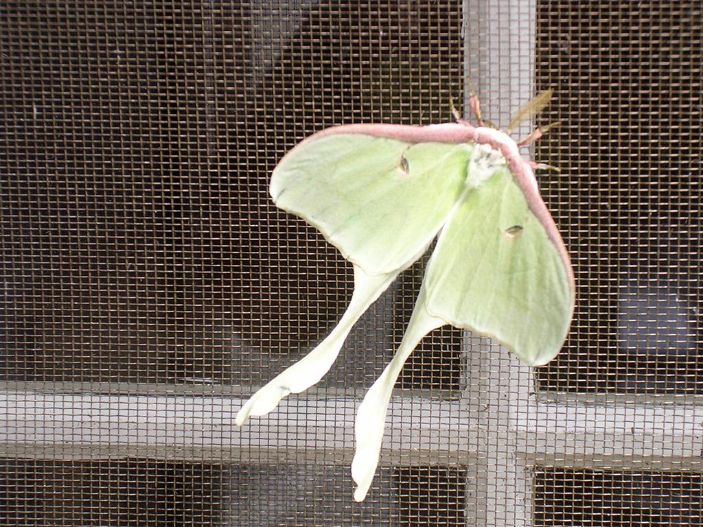 7.luna-moth.jpg
