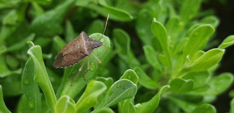 York_Pest_control_stink_bug-1.jpg
