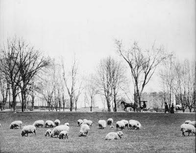 ׳אחו הכבשים׳ בסנטראל פארק. רק בשנות ה30 של המאה ה20 הכבשים פונו והפארקיועד בלעדית לתרבות הפנאי של תושבי ניו יורק