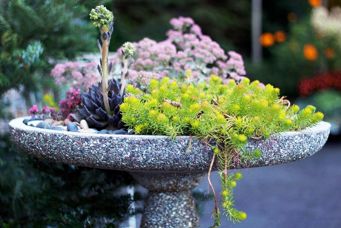 reduced Bird bath sedum planter succulents nursery container garden PC .jpg