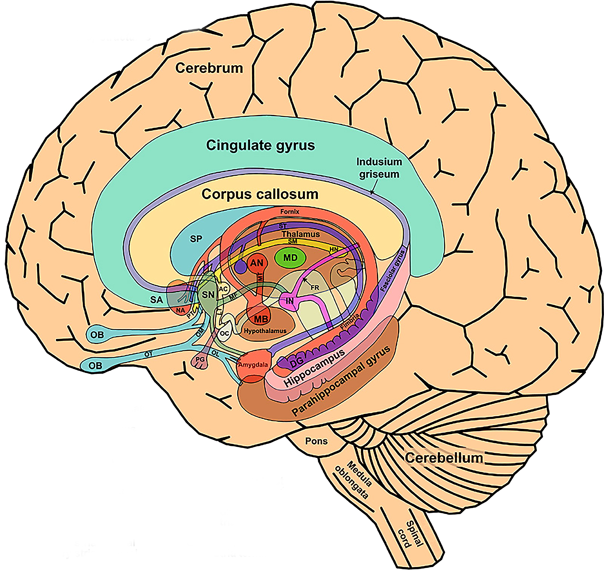 The_Limbic_System_and_Nearby_Structures_small.png