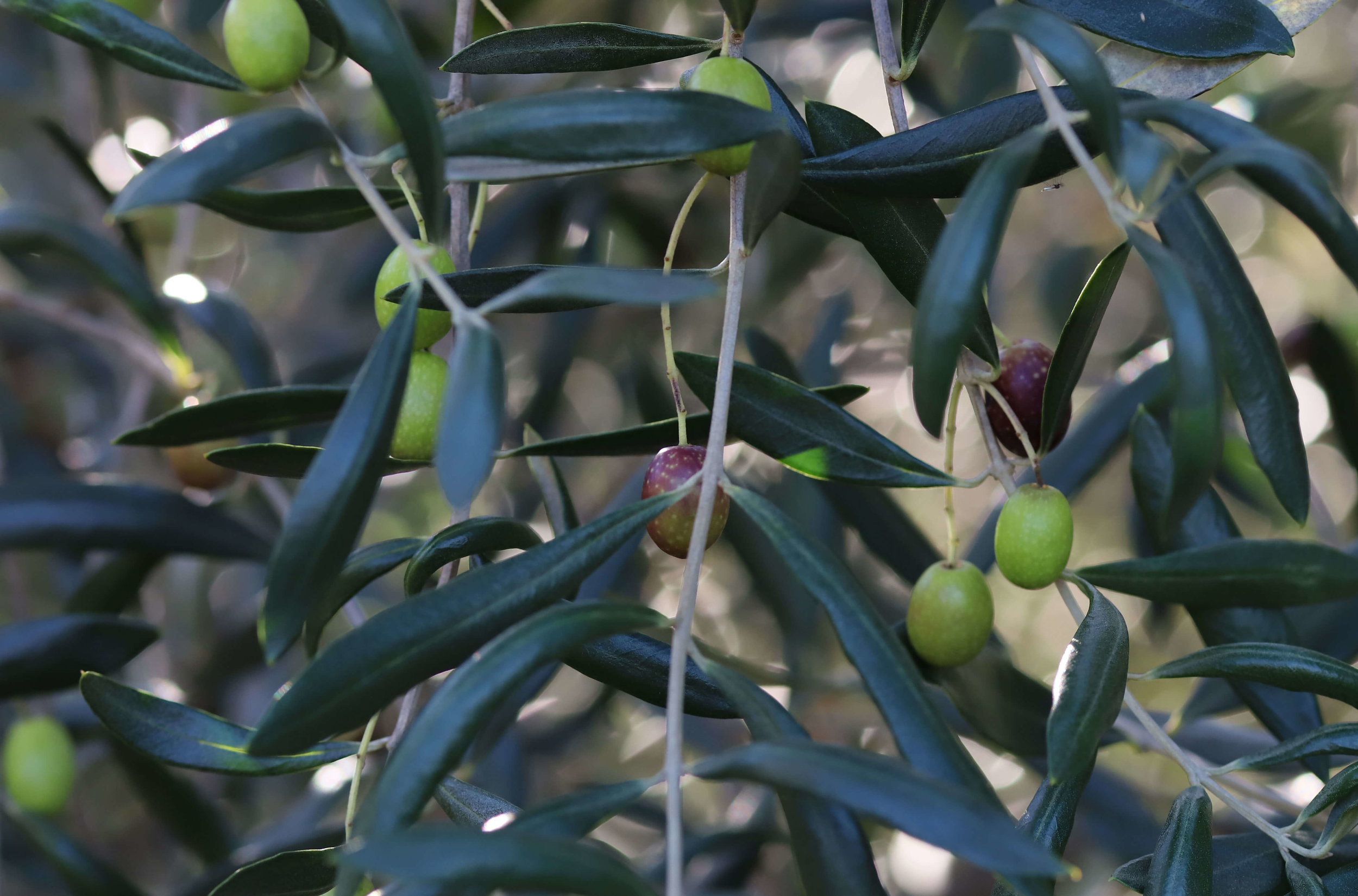 Olives -