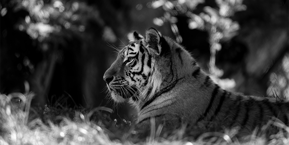Amur tiger,  Panthera tigris altaica  © Lesley Malpas, 2017. There are estimated to be around 600 Amur tigers left in the wild. Captive breeding programmes are providing protection against extinction for this species, but habitat protection, and the end of illegal wildlife trafficking of their body parts, are essential if the species is to have any chance of future survival in the wild. Photo by Lesley Malpas.