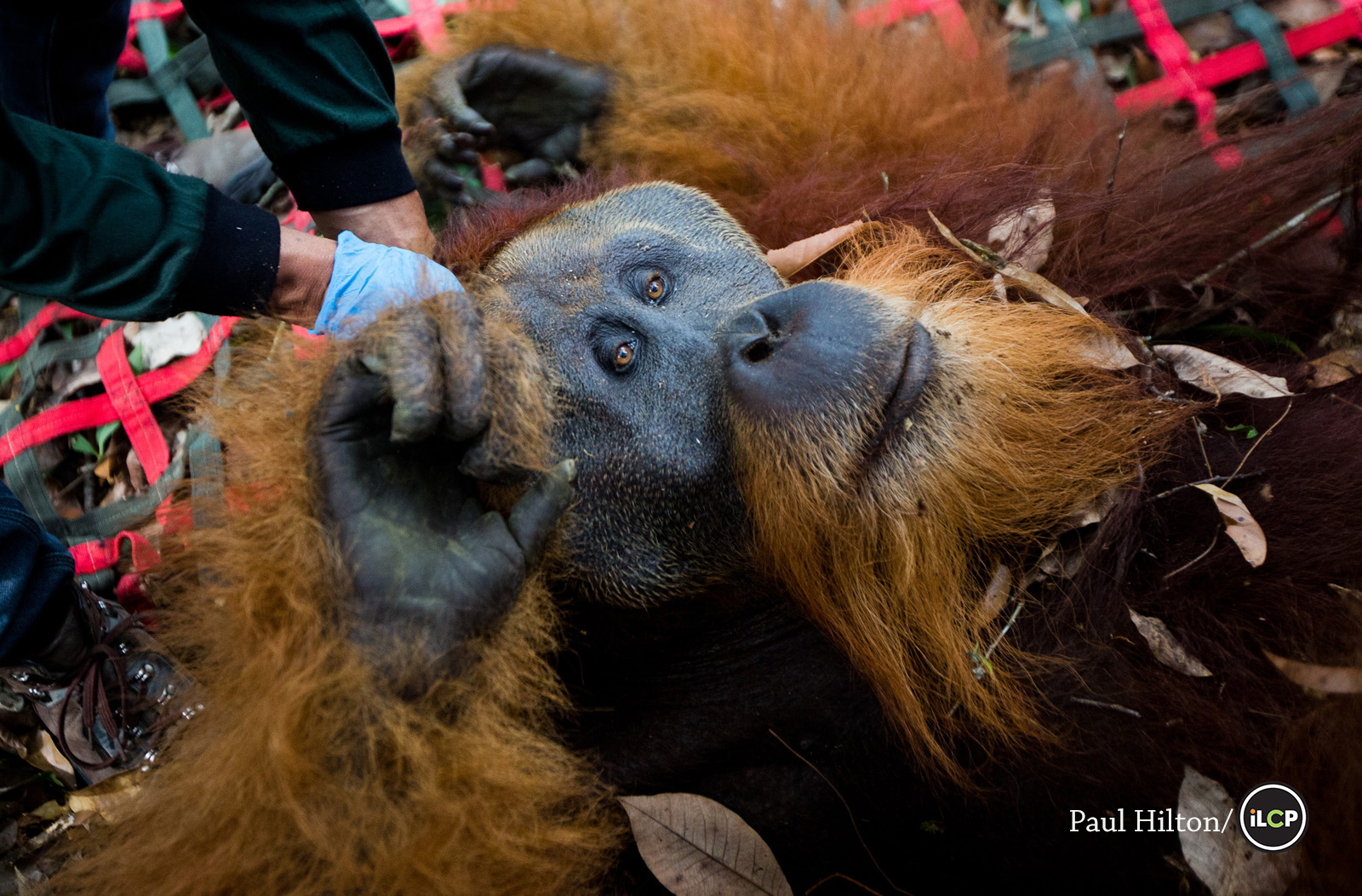 Sumatran Orangutan,  Pongo abelii , photographed by Paul Hilton. 69% of Orangutan habitat and half the population has been lost in one generation; Sumatran Orangutans will be extinct in the wild within the next 10 years if current levels of deforestation continue.